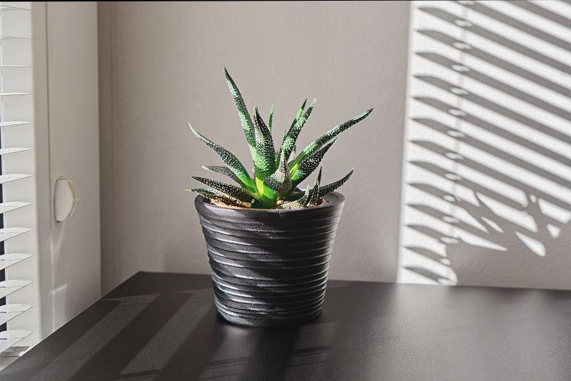 Aloes drzewiasty – uprawa, zastosowanie, właściwości 2