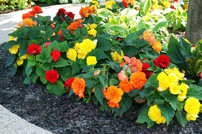 Begonia wielkokwiatowa w ogrodzie - wymagania, pielęgnacja, rozmnażanie 2