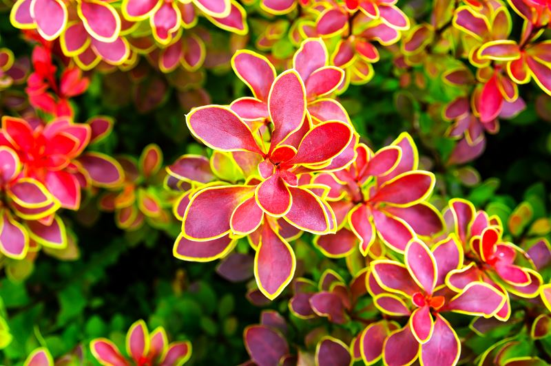 Berberys czerwony - sadzenie, uprawa, pielęgnacja, cięcie 2