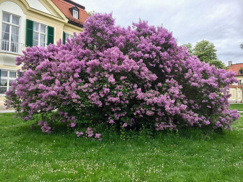 Bez w ogrodzie (lilak) – odmiany, pielęgnacja, porady 2