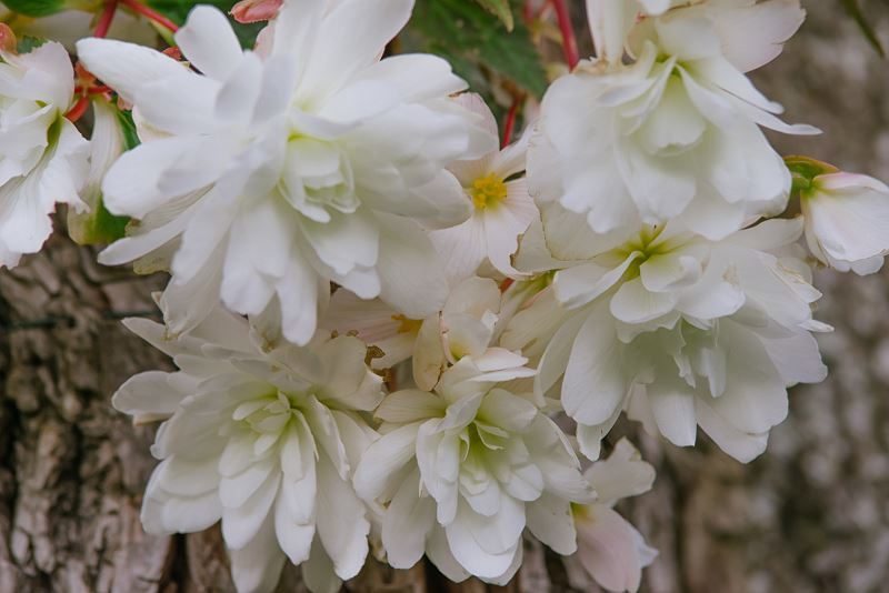 Popularne odmiany begonii - begonia zwisająca (wisząca), biała, królewska, bulwiasta 2
