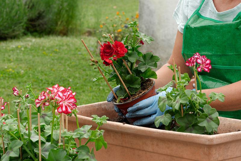 Bodziszek czerwony w ogrodzie - odmiany, sadzonki, uprawa, rozstawa, wymagania 2