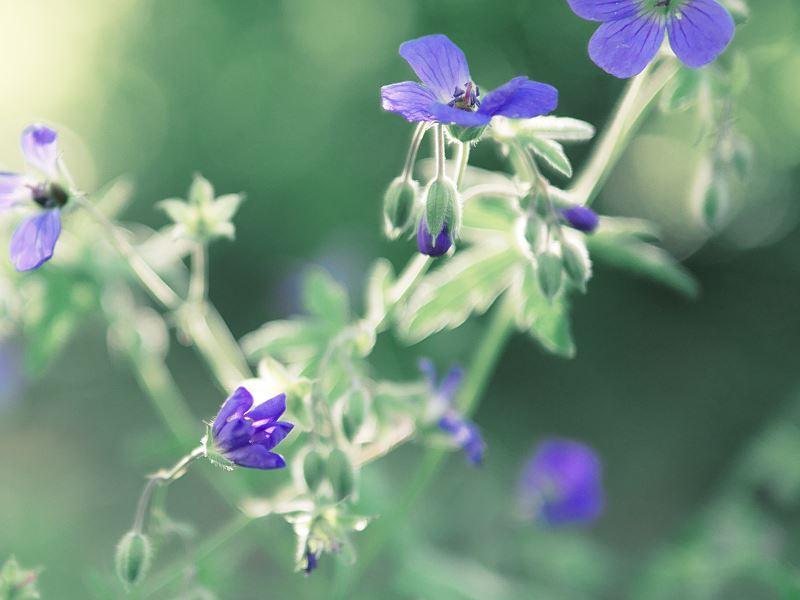 Bodziszek korzeniasty w ogrodzie - uprawa, pielęgnacja, wymagania 2