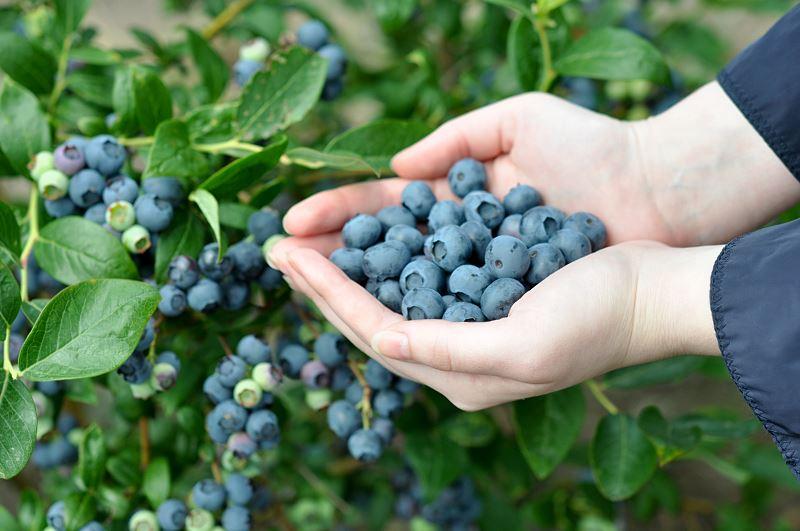 Borówka amerykańska – właściwości, uprawa, odmiany, sadzenie, pielęgnacja, porady 2