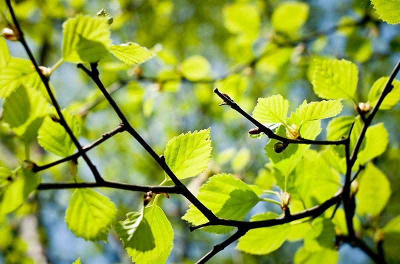 Brzoza brodawkowata - wszystko, co musisz wiedzieć - sadzenie, pielęgnacja, porady 2