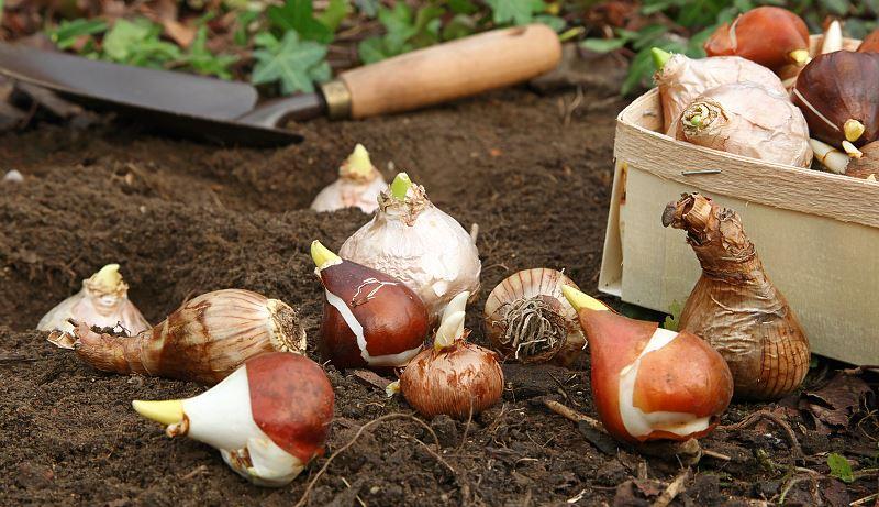 Cebule kwiatowe – na wiosnę, jesień, wieloletnie – przegląd 2