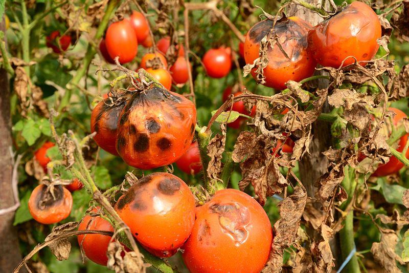 Choroby pomidorów - jak sobie z nimi radzić? 2