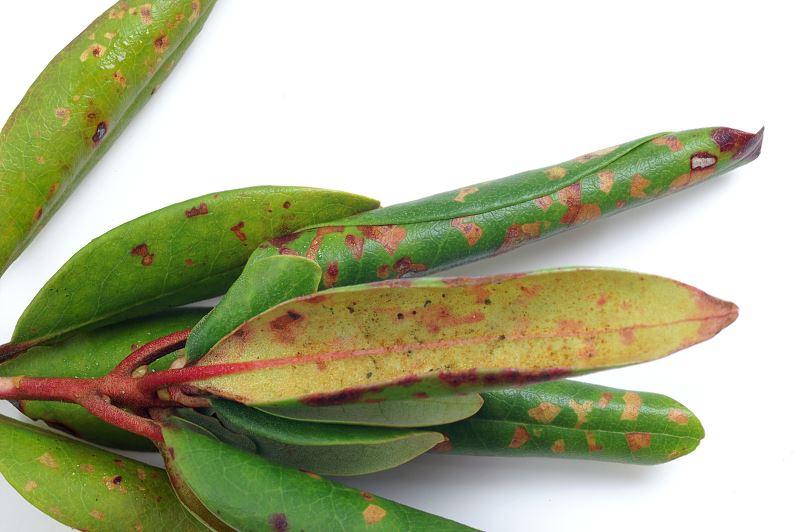 Choroby rododendronów - co warto wiedzieć, jak leczyć 2