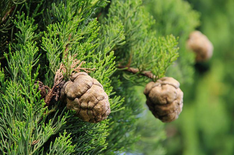 Cyprys wielkoszyszkowy (goldcrest) - uprawa, pielęgnacja, porady 2
