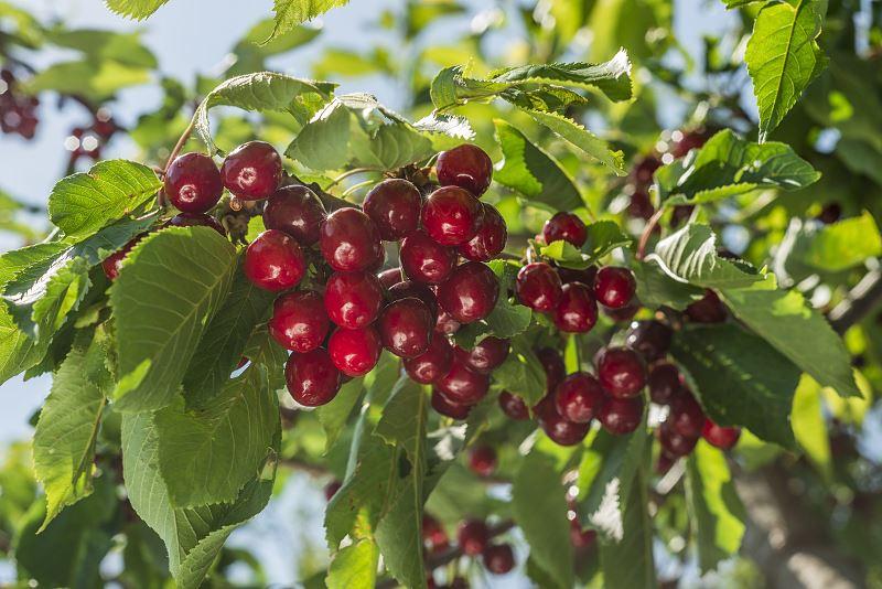 Czereśnia rivan - opinie, odmiany, uprawa, pielęgnacja, przycinanie, porady 2
