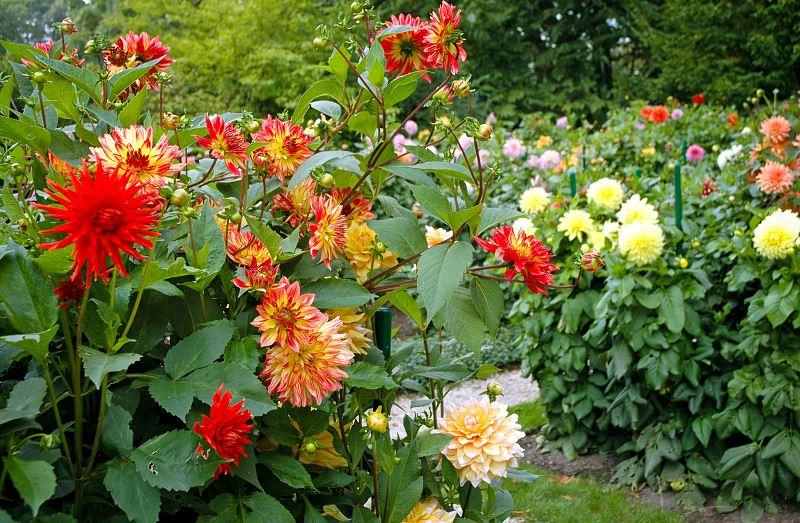 Dalia ogrodowa – odmiany, sadzenie, uprawa, pielęgnacja, choroby 3