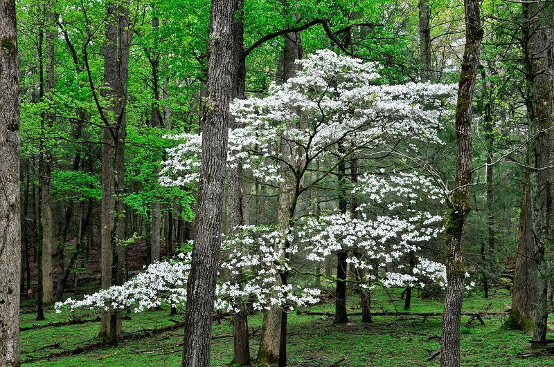 Dereń elegantissima (biały) - sadzenie, uprawa, cięcie, pielęgnacja 2
