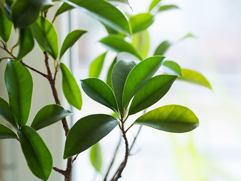 Ficus ginseng (fikus tępy) - uprawa, pielęgnacja, podlewanie, przycinanie, cena 2