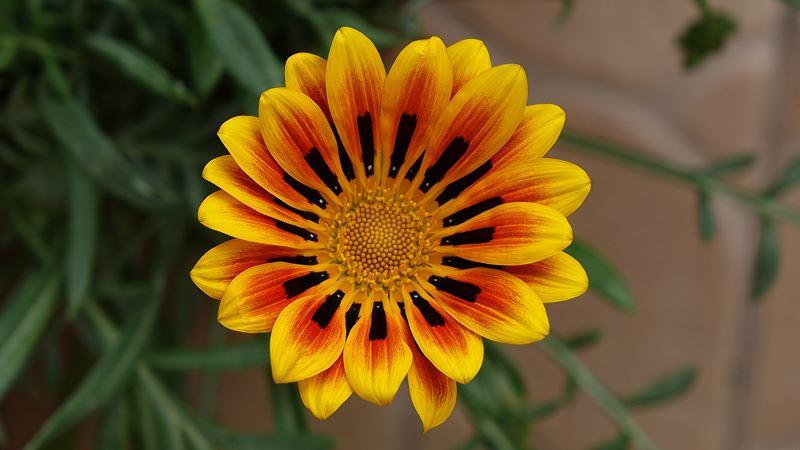 Kwiat gazania - cena, odmiany, wysiew, uprawa, pielęgnacja i rozmnażanie 2
