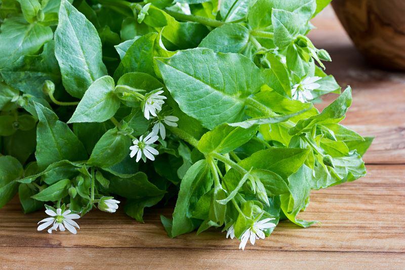 Gwiazdnica pospolita – sposoby zwalczania w ogrodzie, właściwości lecznicze 2