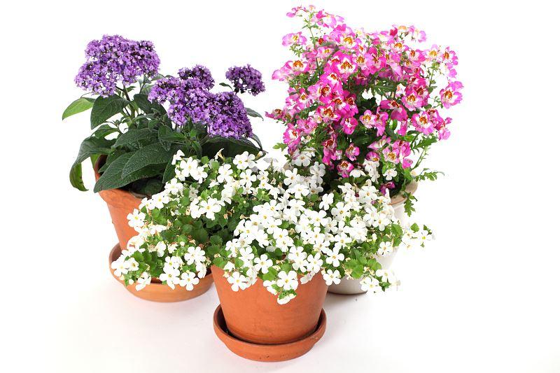 Heliotrop peruwiański / ogrodowy - jeden z najbardziej wonnych kwiatów w Twoim ogrodzie 2