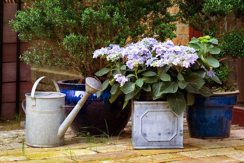 Hortensja niebieska - sadzenie, uprawa, pielęgnacja, podlewanie 2