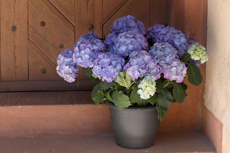Hortensja doniczkowa na balkonie i tarasie - sadzenie, uprawa, pielęgnacja, porady 2
