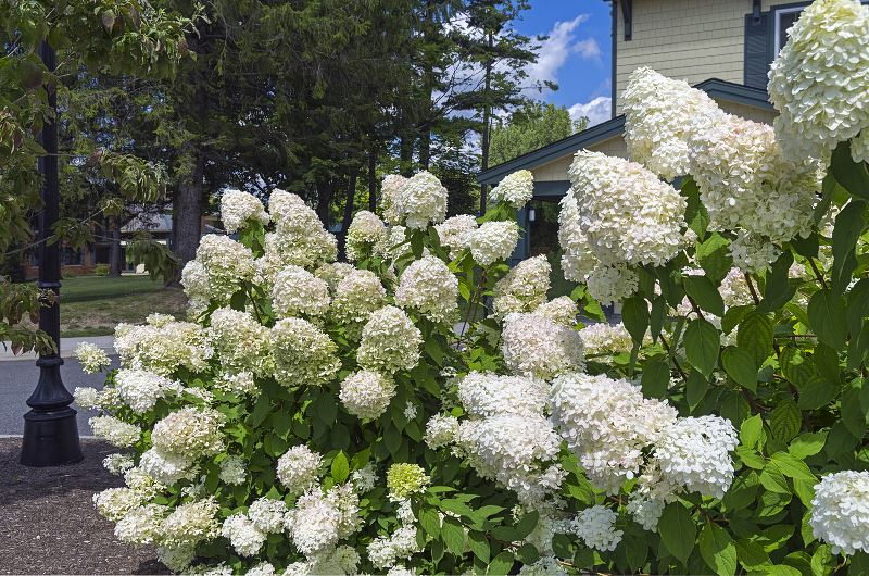 Hortensja drzewiasta (krzewiasta) - sadzenie, pielęgnacja, rozmnażanie, porady 2