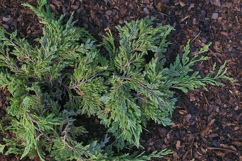Jałowiec płożący i podobne rośliny płożące - poradnik ogrodnika 2