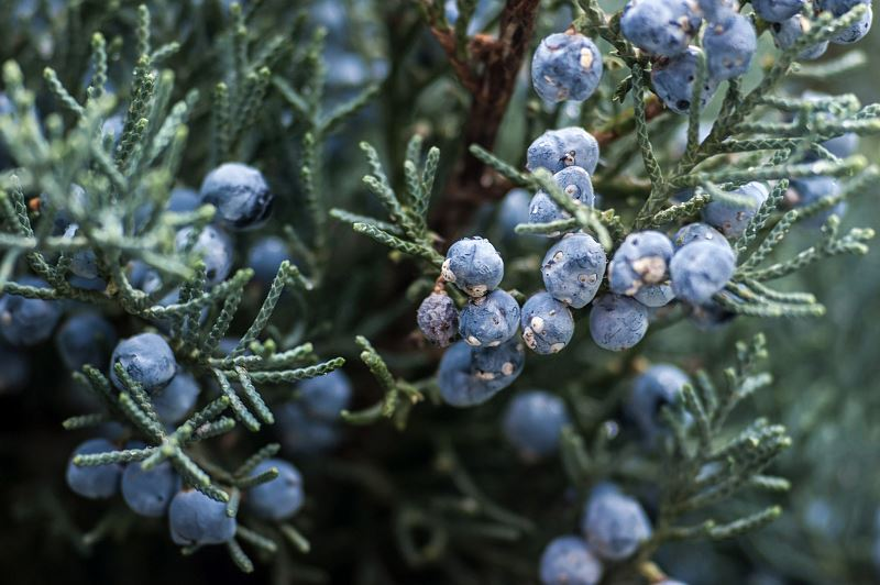 Jałowiec blue arrow i skyrocket - wymagania, uprawa, pielęgnacja, choroby, porady 2