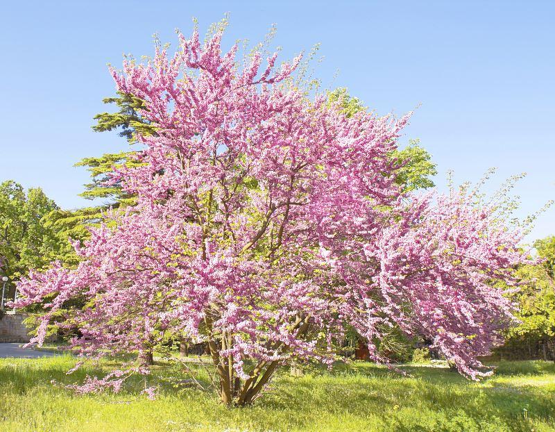 Judaszowiec południowy - wymagania, sadzenie, uprawa, pielęgnacja, kwitnienie, przycinanie 2