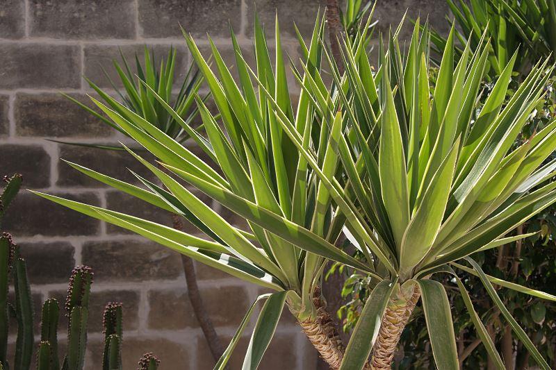 Juka ogrodowa - pielęgnacja, podlewanie i przesadzanie popularnej rośliny domowej 3