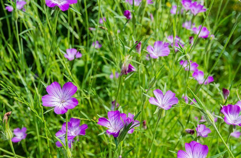 Kąkol polny - sprawdzone sposoby na zwalczanie tego chwastu 2