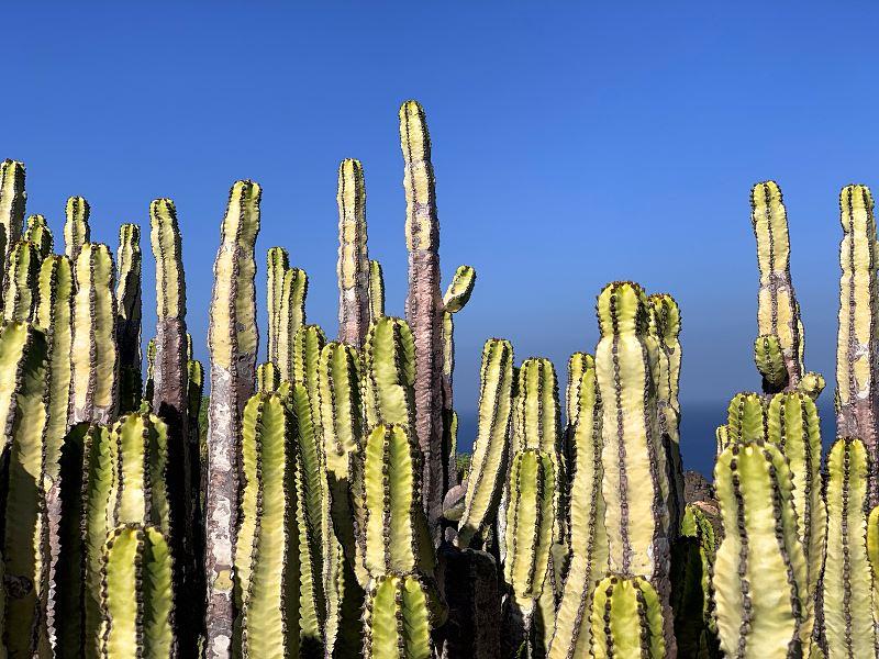 Kaktus San Pedro na parapecie - właściwości, ciekawostki, zastosowanie, niebezpieczeństwa, kwestie prawne 2