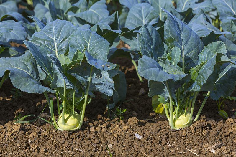 Kalarepa w ogrodzie - sadzenie, uprawa, pielęgnacja, właściwości lecznicze 2