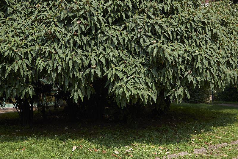 Kalina sztywnolistna - wymagania, sadzenie, uprawa, pielęgnacja, porady 2
