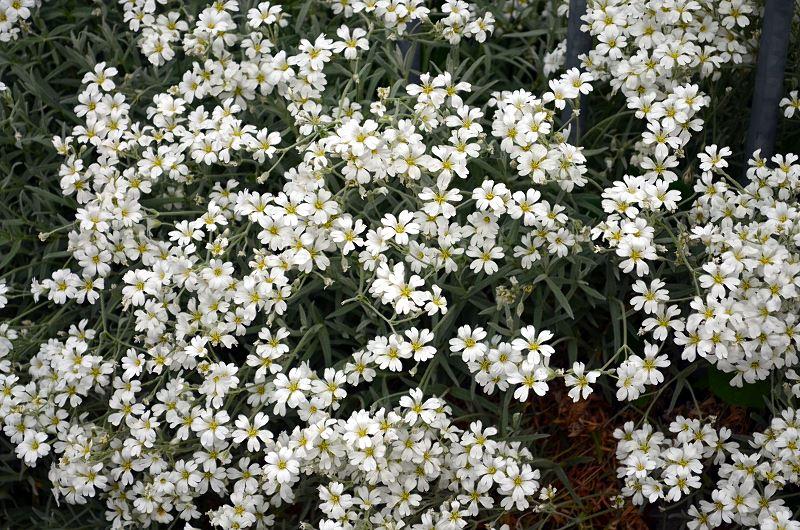 Gipsówka (łyszczec) – popularne odmiany, uprawa, pielęgnacja, cena 2