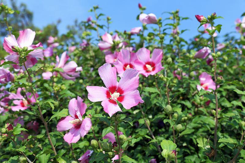 Ketmia syryjska (hibiskus) - rodzaje, odmiany, uprawa i pielęgnacja 2