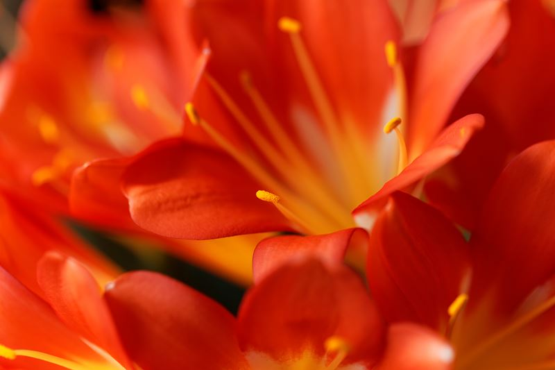 Kliwia pomarańczowa - poradnik dla ogrodnika - uprawa, pielęgnacja i nie tylko 2