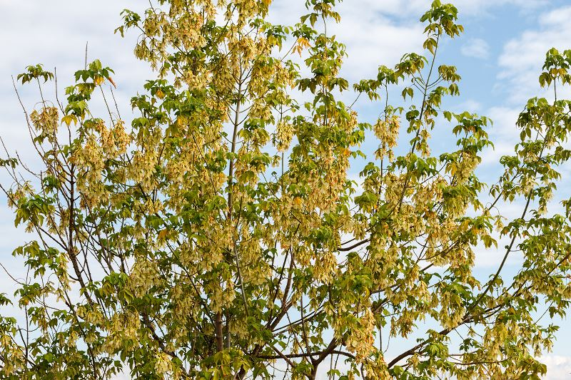 Klon jesionolistny (Acer negundo) - odmiany, uprawa, przycinanie, ceny, porady pielęgnacyjne 2