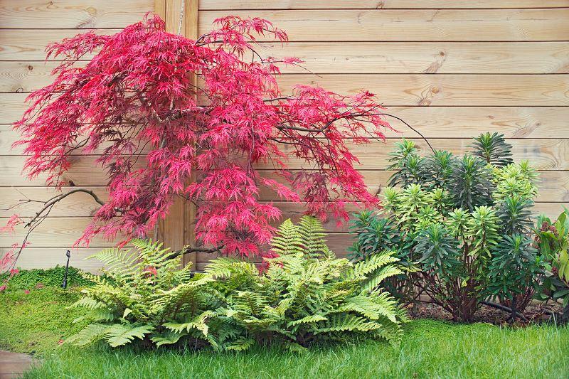 Klon ozdobny - odmiany, sadzenie, uprawa, pielęgnacja, porady 2