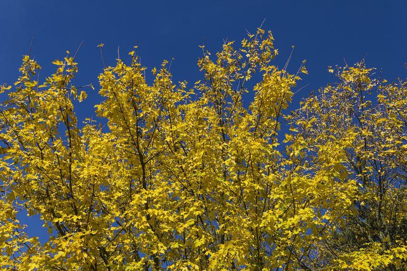 Klon polny (Acer campestre) - odmiany, sadzenie, uprawa, pielęgnacja, zastosowanie na żywopłot 2