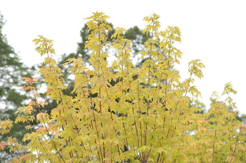 Klon srebrzysty (Acer saccharinum) - uprawa, pielęgnacja, formowanie, porady 2