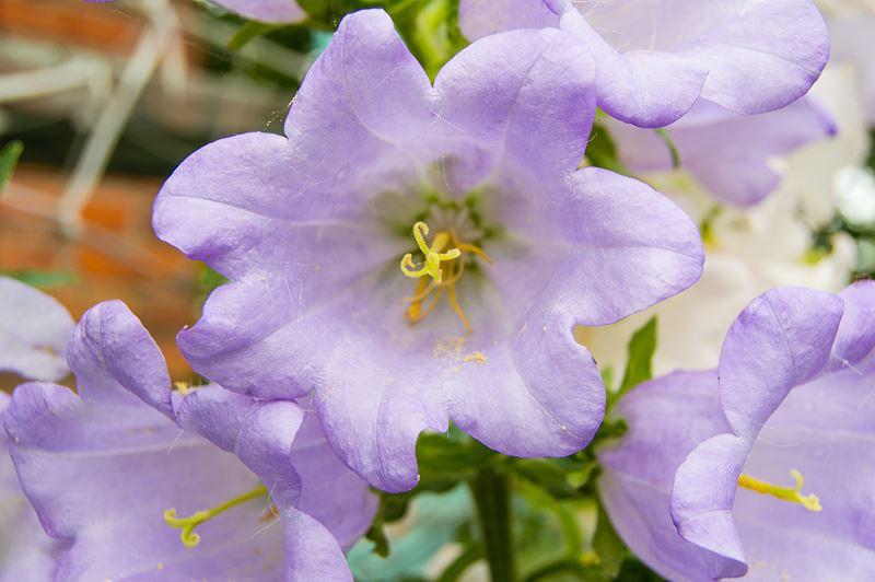 Kobea pnąca – wysiew, uprawa, nawożenie, wymagania, sadzonki 2