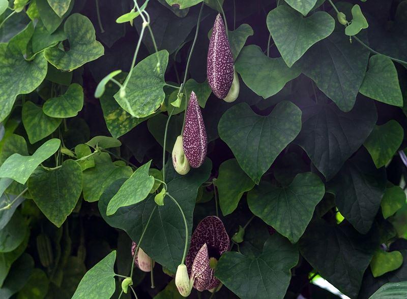 Kokornak wielkolistny – sadzenie, uprawa, pielęgnacja, rozmnażanie, choroby 2