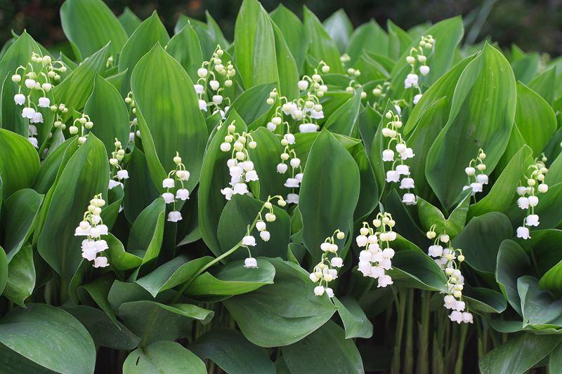 Konwalia majowa w ogrodzie - sadzenie, uprawa, pielęgnacja, wymagania 2