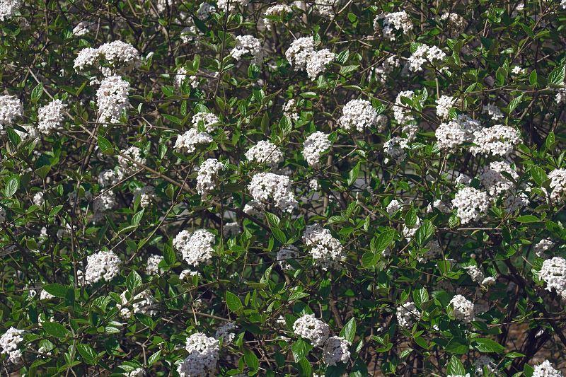 Kalina burkwooda - odmiany, sadzenie, uprawa, pielęgnacja, porady 2