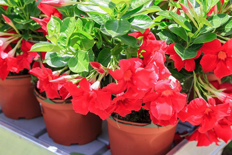 Kwiaty sundaville - sadzenie, uprawa, pielęgnacja, rozmnażanie, przycinanie 3