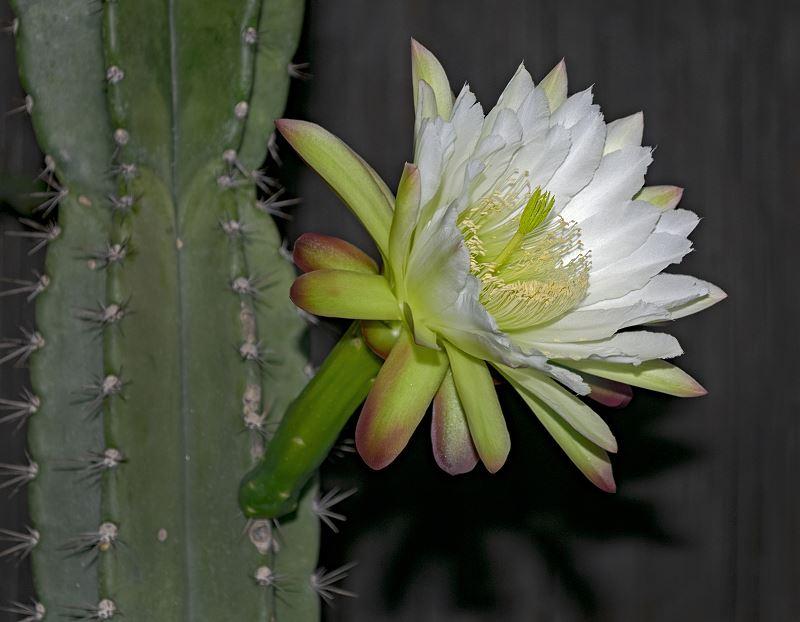 Cereus repandus w doniczce - uprawa, pielęgnacja, ciekawostki 2