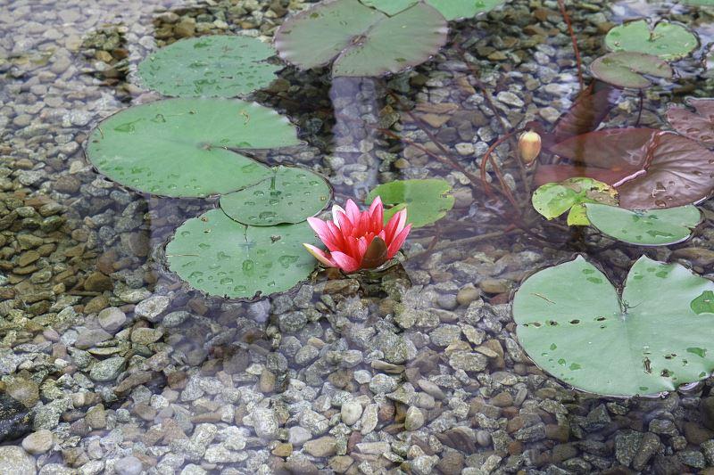 Lilia wodna w oczku wodnym - jak je zasadzić i pielęgnować? 2