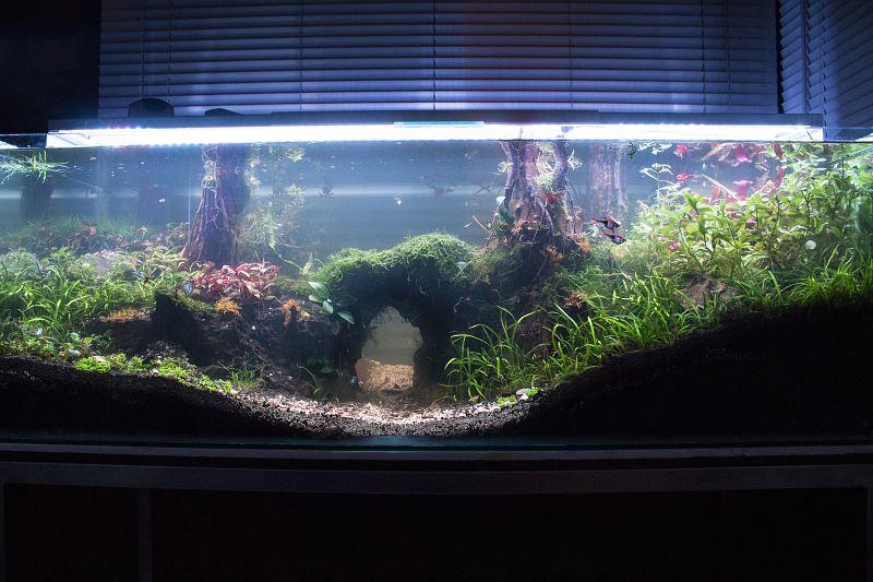 Lobelia cardinalis - do akwarium - uprawa, pielęgnacja, wymagania, porady 2