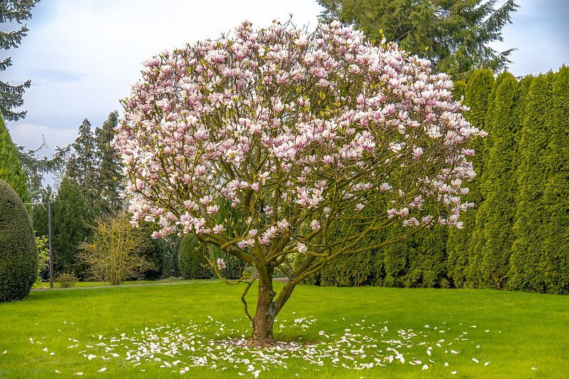 Magnolia susan – sadzenie, uprawa, pielęgnacja, wymagania, choroby 2