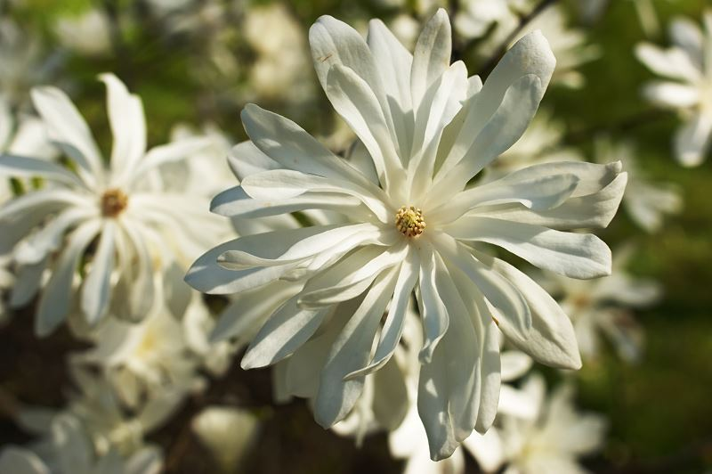 Magnolia japońska (Magnolia kobus) - uprawa, pielęgnacja, wymagania, cena 2