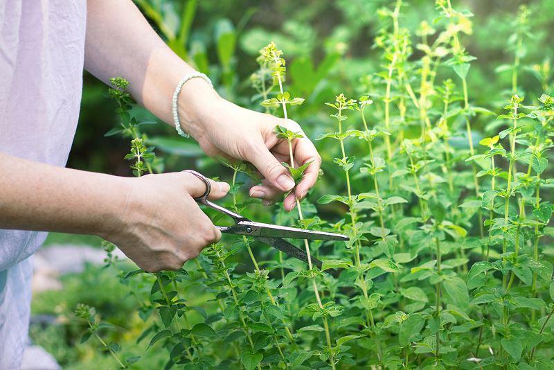 Majeranek w doniczce i ogrodzie – uprawa, pielęgnacja, właściwości, zastosowanie w kuchni 2