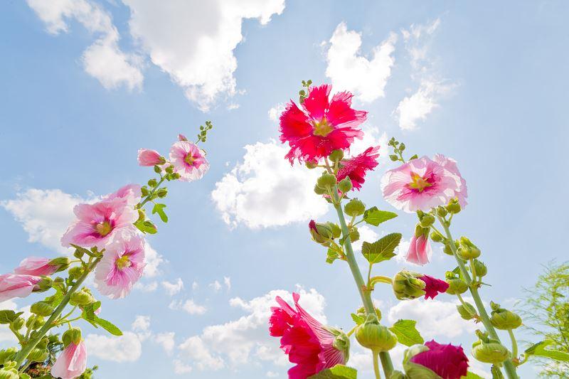 Malwa w ogrodzie - odmiany, sadzenie, uprawa, pielęgnacja, ciekawostki 2